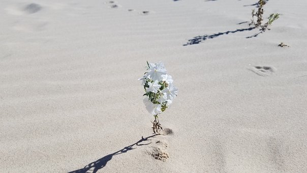 Wildflower, Desert, Nature, Plant, White Flower, Sand