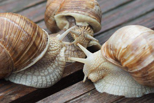 Escargots, Snail, Shell, Mucus, Reptile, Close, Slowly
