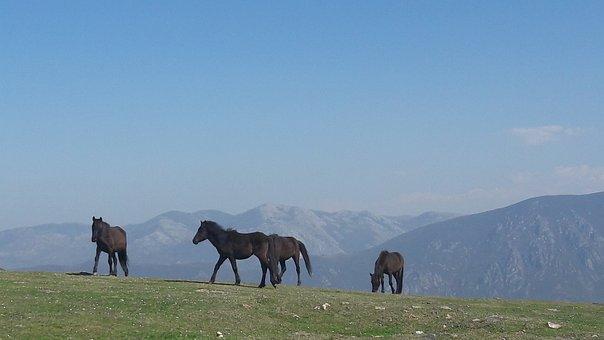 Horses, Asturcon, Asturias, Spain, Equestrian, Equine