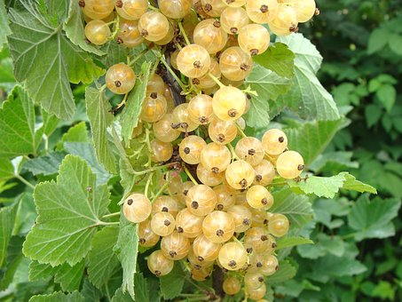 Currant, White Currants, Berry, Closeup, Garden