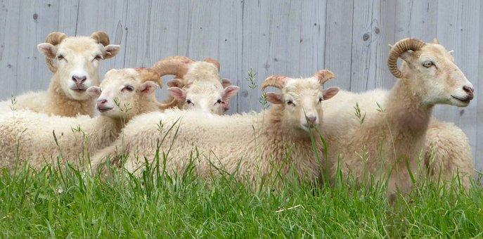 Sheep, Wood, Grass, Sun, Hell, Washed, Family, Joy