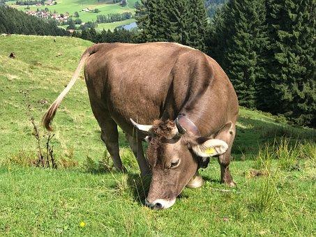 Cow, Allgäu, Allgäu Brown, Pasture, Cows, Agriculture