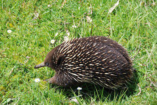 Australia, Echidnas, Animal, Echidna, Animal World