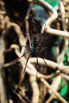 Spider, Web, Arachnid, Insect, Predator