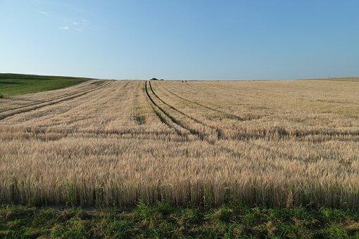 Grain, Field, Cereals, Plant, Ear, Field Crops