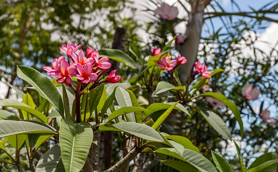 Flowers, Frangipanni Flowers, Pink Flowers