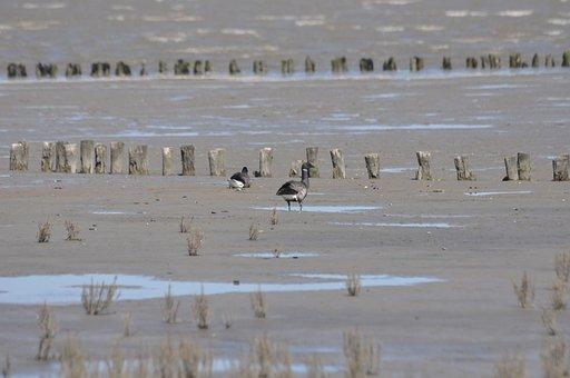Brent Goose, Watts, Wadden Sea, Friesland, North Sea