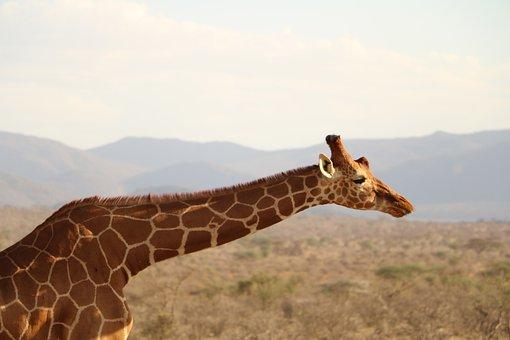 Giraffe, Safari, Animal, Wild, Wildlife, Nature, Africa
