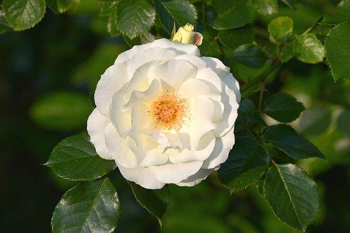 Inner Wheel Rose, Inner Wheel, White Rose, Rose