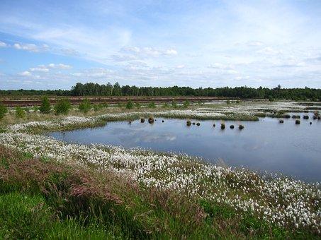 Moorland, Renaturation, Cottongrass, Landscape, Moor