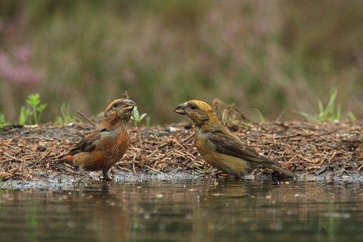 Crossbill, Kruisbekken, Nature, Songbirds