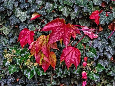 Fall, Autumn, October, Ivy, Hedera Helix, Climbing