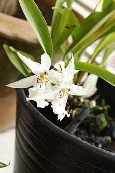 Orchid, Oncidium, Flower