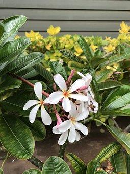 Plumeria, Flowers, Hawaii