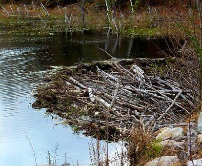 Beaver, Dam, Pond