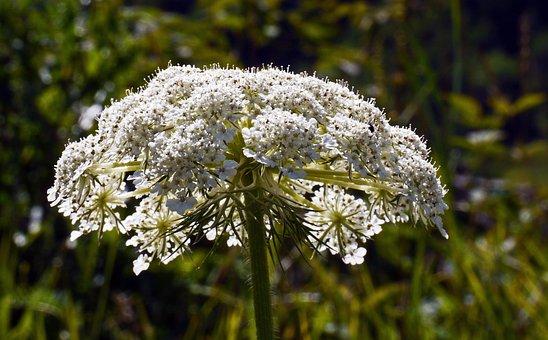 Alpine Flowers, Wild Plant, High Mountains, Umbel