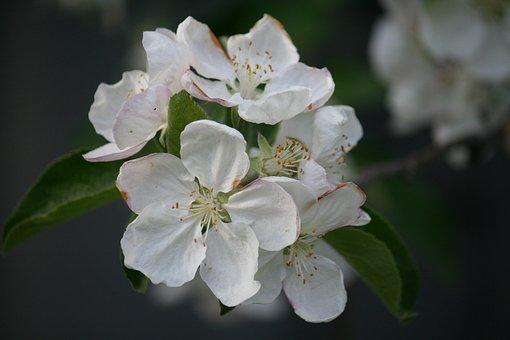 Macro Flowers, White, Dacha, Forest, Apple Tree