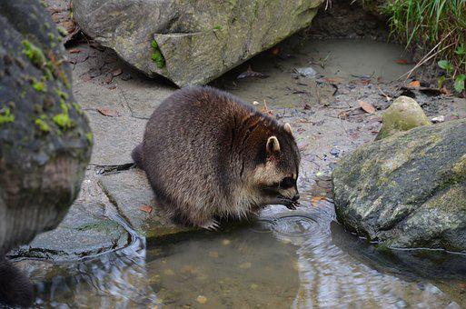 Raccoon, Germany, Wild Animal, Zoo, Mammal, Nature