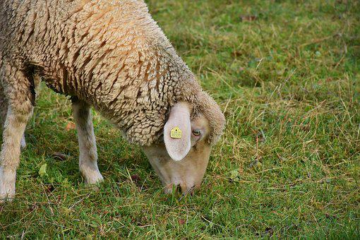 Sheep, White, Animal, Pet, Animal Husbandry, Farm, Bio