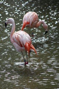 Flamingo, Pink, Bird, Tropical, Exotic, Nature, Animal