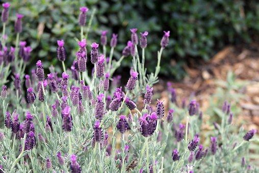 Lavender, Flower, Garden, Blossom, Bloom