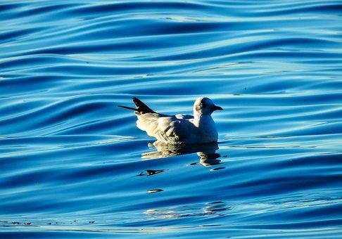 Birds, Duck, Water, Reflection, Blue, Animal, Animals