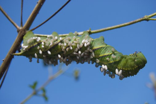 Caterpillar, Tobacco Caterpillar, Carolina Sphinx Moth