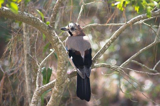 Jay, Bird, Nature, Attention, Raven Bird, Corvidae