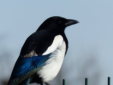 Walk, Magpie, Bird, Corvidé