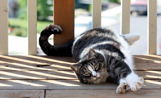 American Shorthair Cat, Domestic Cat, Cat, Short Hair