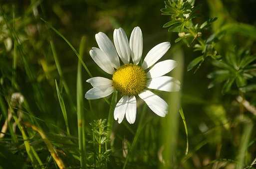 Marguerite, Flower, Plant, Meadow