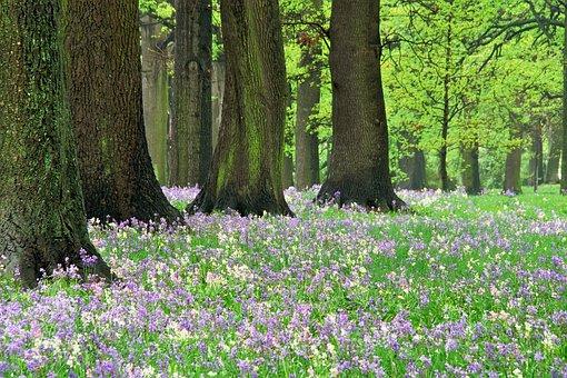 Bluebells, Hagley Park, Forest, Spring