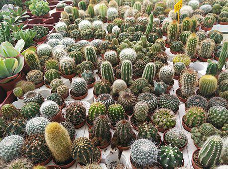 Cactus, Nursery, Plants, Green, Pots, Nature, Thorns