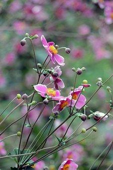 Anemone, Japonica, Hupehensis, Flower, Nature, Garden
