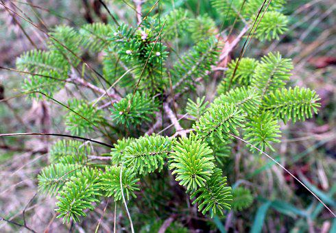 Iglak, Coniferous Shrub, Green, Closeup, Plant