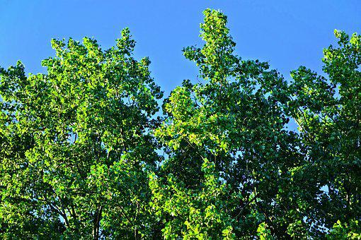 Tree, Treetop, Crown, Foliage, Green, Luscious, Sky
