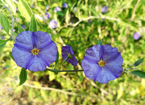 Solanum Rantonnetii, Lycianthes Rantonnetii, Flowers