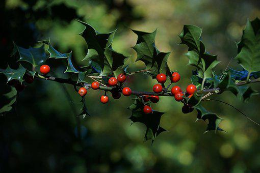 Berry Red, Berries, Green, Nature, Plant, Red, Tree