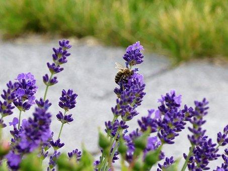 Flower, Bee, Summer, Purple, Nature, Plant, Blossom
