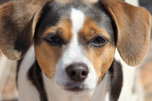 Dog, Animal, Pet, Pet Animal, Domestic Animals, Puppy