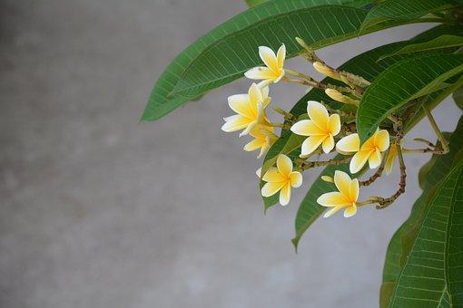 Bali, National Flower, Plumeria