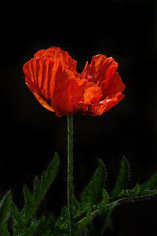 Poppy, Remembrance, Red, Day, Flower, Bloom, Nature
