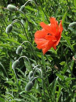 Poppy, Poppies, Orange, Wild, Field, Spring, Garden