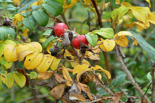 Rose Hip, Haw, Red, Berries, Berry Red, Bush