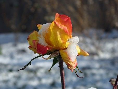 Chicago Peace Tea Rose, Early Snow, Numb, Flower, Rose