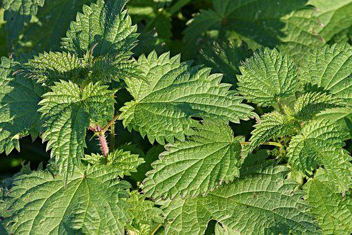 Stinging Nettles, Urticaceae, Nature, Nettle, Burn