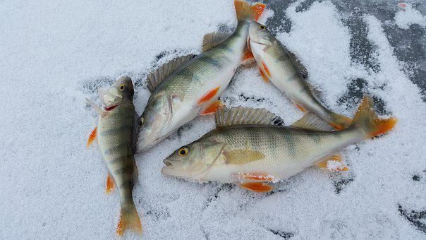 Ice Fishing, Perch, Ice, Snow, Winter, Cold, Fishing