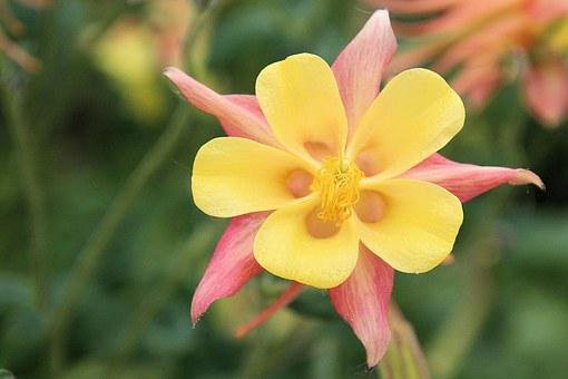 Columbine, Blossom, Bloom, Flower, Aquilegia