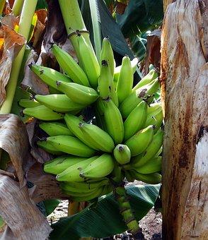 Banana, Green, Plantain, Bunch, Fruit, India