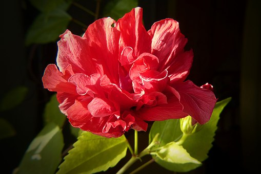 Hibiscus, Plant, Close, Mallow, Red, Bloom, Flora